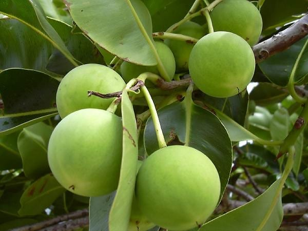 The Tamanu Tree
